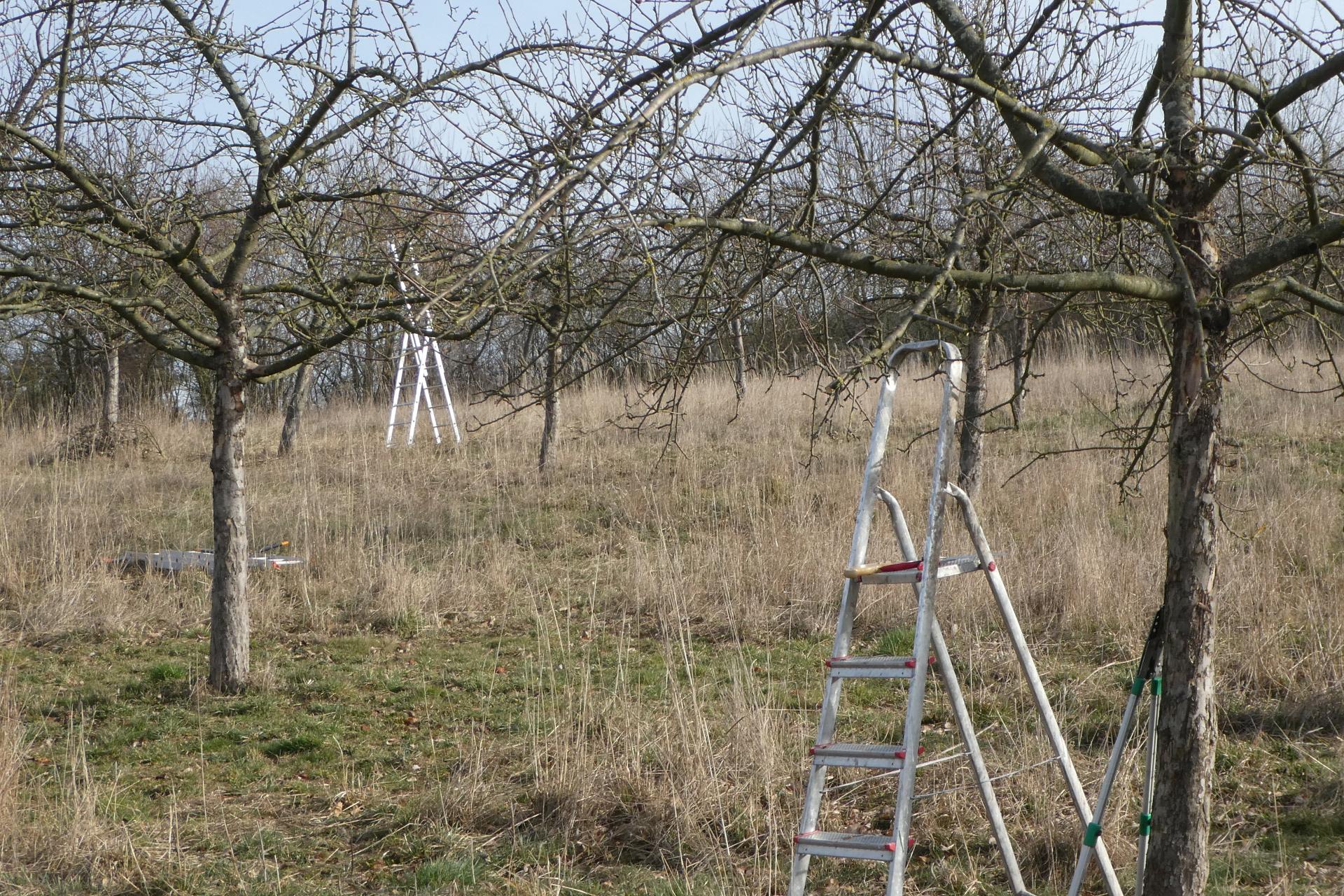Obstbaumschnitt auf der Ausgleichsfläche
